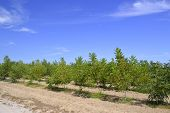 foto of pecan tree  - Pecan nut tree on a farm on the blue sky background - JPG