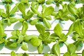 Hydroponic Vegetable Gardening