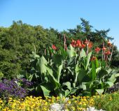 stock photo of heliotrope  - A flower bed of cannas garden  - JPG