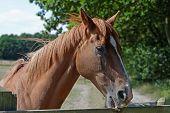 Chestnut Horse Biting A Paddock Fence
