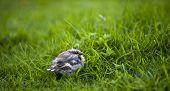 Fledgling Buchfink (Fringilla Coelebs)