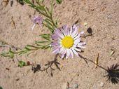 stock photo of xeriscape  - white wild daisy - JPG