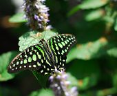 Black Green Butterfly Insect