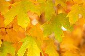 Orange Maple Tree Fall Foliage