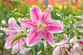 Pink Lily Flower.