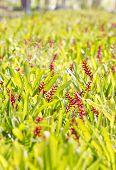 stock photo of bromeliad  - Red aechmea apocalyptica gamesopela bromeliad flowers in garden - JPG