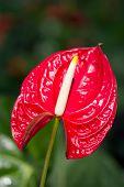Anthurium/flamingo Flowers.