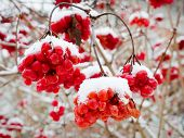 Viburnum Berries Covered With Fluffy Snow