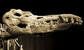 Dinosaur Skull - Liopleurodon