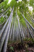 Bamboo Grove, Bamboo Forest At Arashiyama