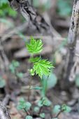 Young maple in spring