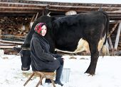 image of milkmaid  - Farmer woman in traditional Russian dress milking a cow - JPG