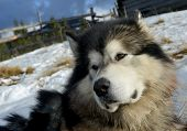 Alaskan (eskimo) Malamute