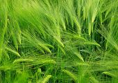 green wheat field close up