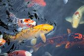 picture of fish pond  - colorful fish carp in a pond in Thailand  - JPG
