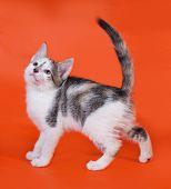 Tricolor Kitten Standing On Orange