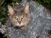 Blue tabby cat with silver tinsel, against green christmas tree background