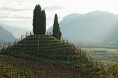Vineyards of Trentino, Italy, hill with cypresses
