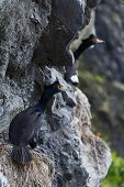 Red-faced Cormorant Sitting In Nest On Cliff