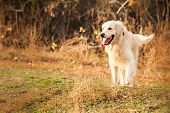 stock photo of golden retriever puppy  - young golden retriever dog with pink tongue play in autumn park - JPG