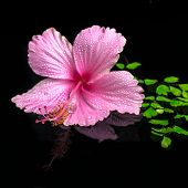 Spa Concept Of Pink Hibiscus Flower On Green Branch Fern With Drops And Reflection Water, Closeup