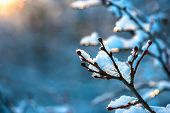 Covered Christmas Branch With Snow And Drops In Sunset Winter Forest