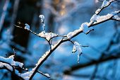 Beautiful Covered Christmas Branch With Snow And Drops In Sunset Winter Forest