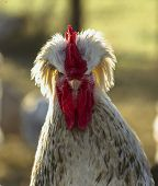 Portrait Of Angry Cock