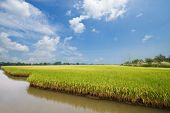 Rice Field And Drops,landscape In Thailand