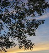 Maple Tree Background