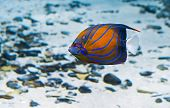 picture of butterfly fish  - classic coral Butterfly - JPG