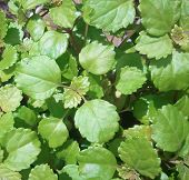 picture of ivy  - Swedish ivy growing in a pot in my garden - JPG