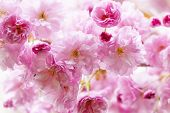 picture of tree-flower  - Pink cherry blossom flowers on flowering tree branch blooming in spring - JPG