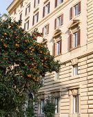 stock photo of satsuma  - Orange trees on a street in Rome with buildings in the background - JPG