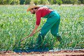 foto of hoe  - Farmer man working in onion orchard field with hoe tool - JPG