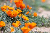 picture of poppy flower  - Springtime in California thousands of flowers blooming on the hills of the Antelope Valley California Poppy Preserve - JPG