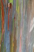 stock photo of eucalyptus trees  - close up of a eucalyptus tree bark with interesting color and texture - JPG