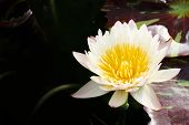pic of water lily  - white leaf lotus flower on water photo stock water lily - JPG