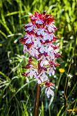 stock photo of marshes  - Red and white Early Marsh Orchid in a meadow in the Italian country side - JPG