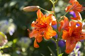 stock photo of lily  - The Lily Lilium is a genus of the lily family Liliaceae with about 110 species - JPG