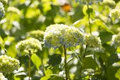 pic of hydrangea  - Hydrangea Hydrangea is a genus in the family of Hydrangeaceae Hydrangeaceae - JPG