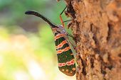 picture of insect  - lanternflies insect - JPG