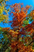 image of maple tree  - Bright Beautiful Fall Foliage On Stunning Maple Trees In Lost Maples State Park - JPG