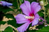 pic of pollen  - Closeup of a Purple Hibiscus Flower with Stigma and Pollen - JPG