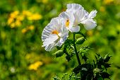 picture of texas star  - A Couple of Beautiful White Prickly Poppy (Argemone albiflora) Wildflowers with Plains Coreopsis and Cut Leaf Groundsel (Packera tampicana) Yellow Wildflowers Blowing in the Wind in Texas.