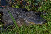 picture of alligators  - Big Wild Alligator on the Bank of Texas Lake - JPG