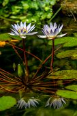 foto of water lily  - A Pair of Tropical White Water Lily Flower  - JPG