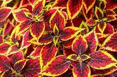 stock photo of nettle  - Coleus or Painted Nettle background - JPG
