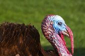 stock photo of gobbler  - Free Range male turkey showing his colors and long beak cover and ruffled feathers - JPG