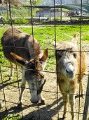 picture of donkey  - two donkey in a meadow in la spezia - JPG